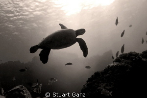Hawaiian green sea turtle in Sepia. by Stuart Ganz 